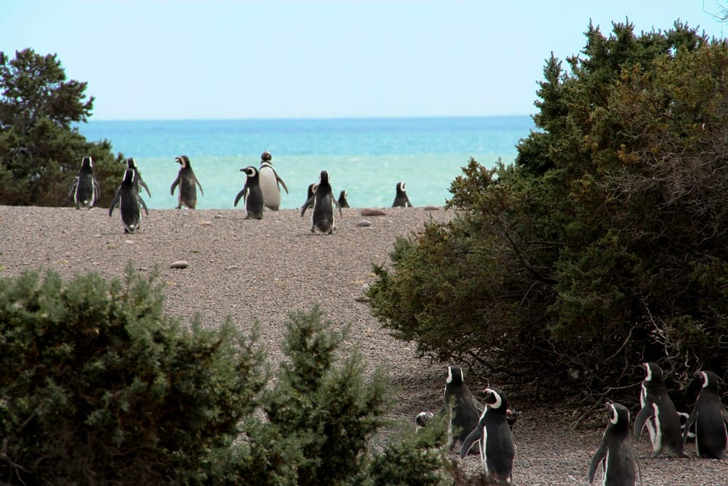 Punta Tombo Pinguin